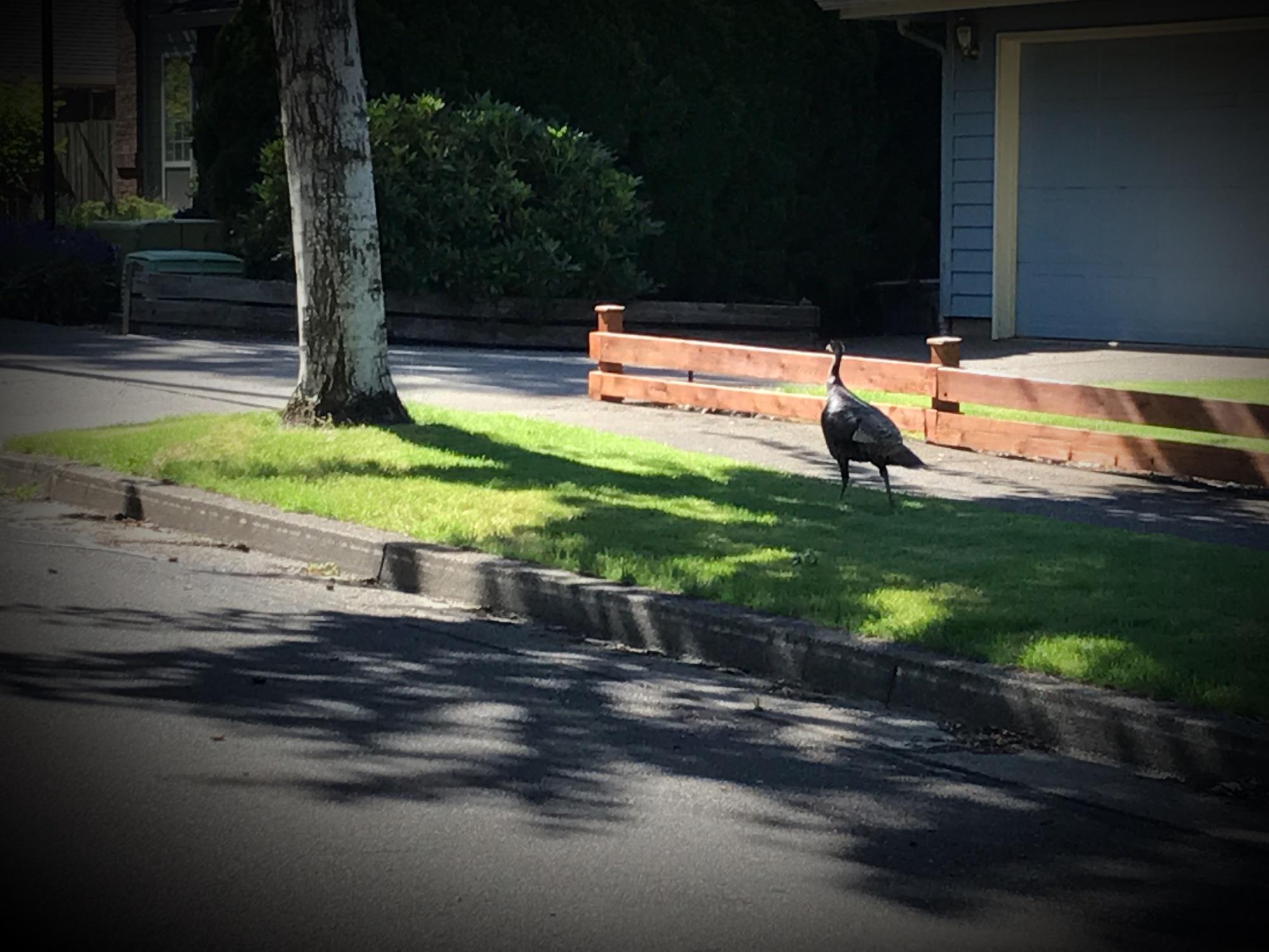 Wild Turkey Wandering By