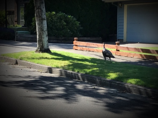 Wild Turkey Wandering By
