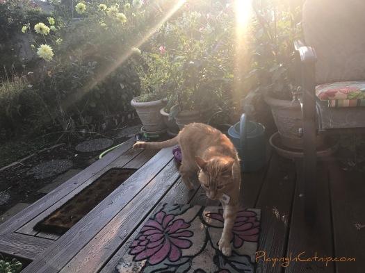Sunrise Raja Kitty