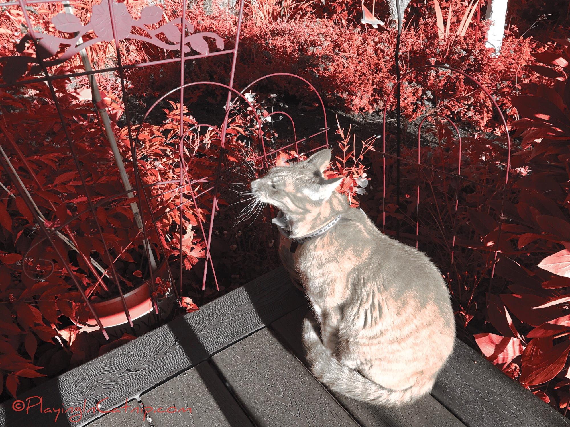 Orangey Beige Raja Kitty
