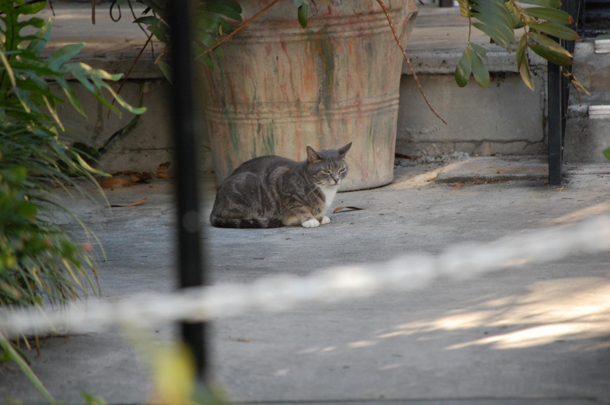 Hemingway Cat 2008